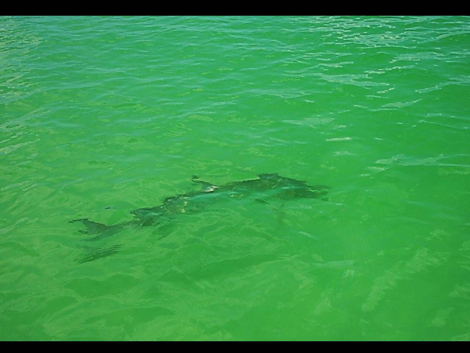clearwater fly fishing with capt wayne simmons fly fishing guide tampa bay